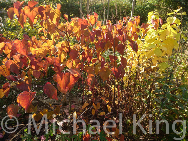 Cercis 'Forest Pansey'