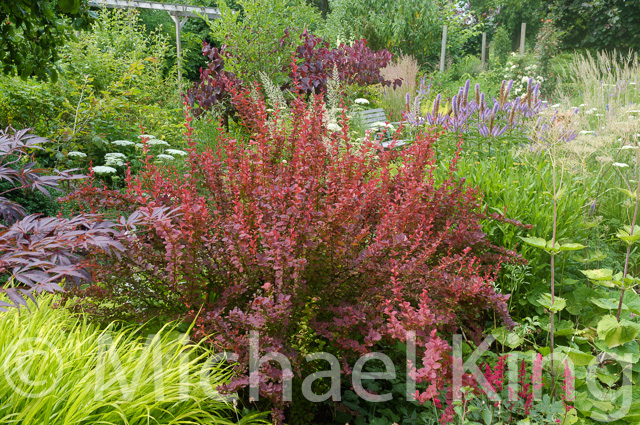 Berberis and Hakenochloa grass
