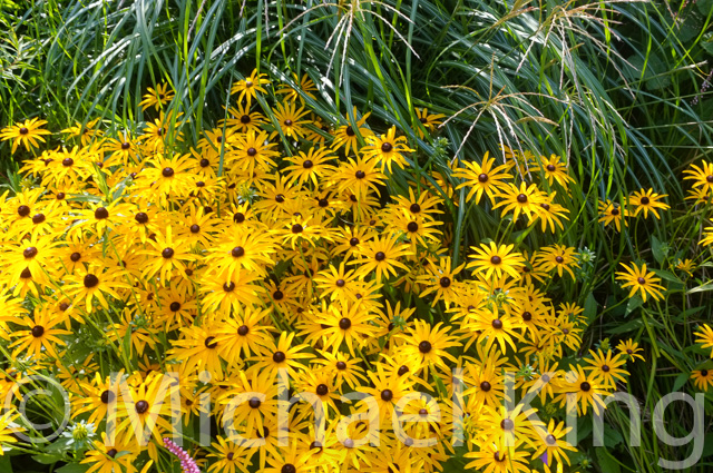 Rudbeckia in the Perennial Meadows garden