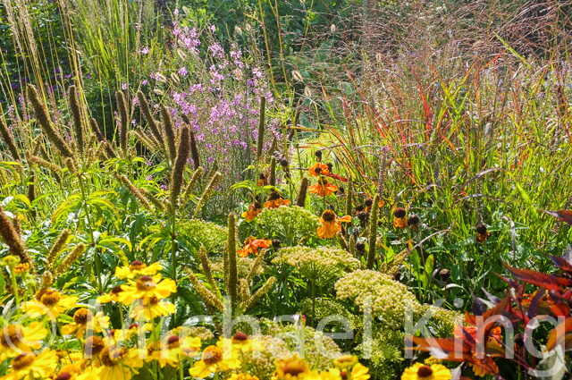 Heleniums mingle with grasses and seedheads in the Perennial Meadows garden