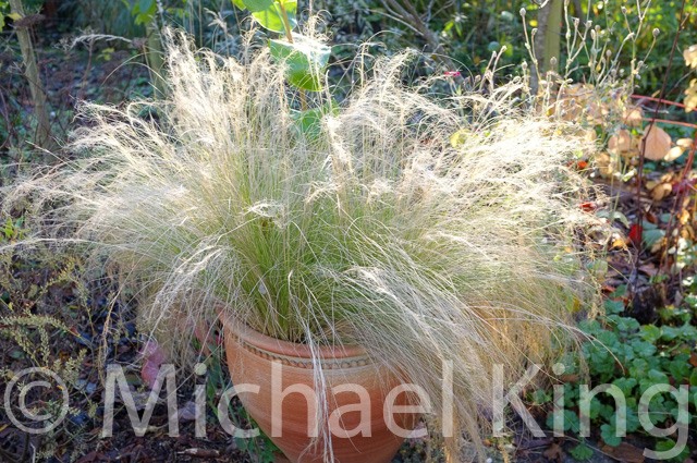 Grasses in pots