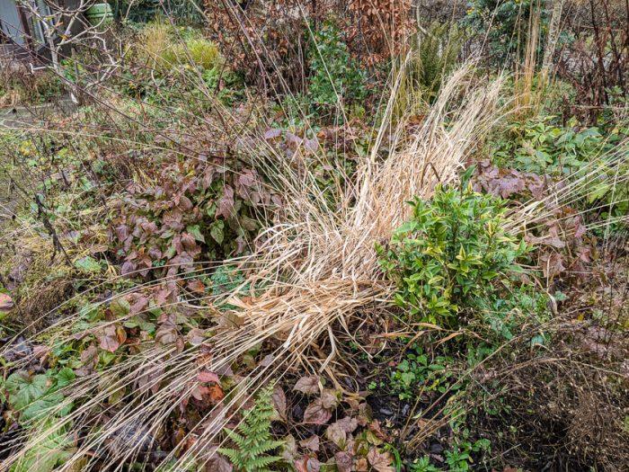 grass molinia