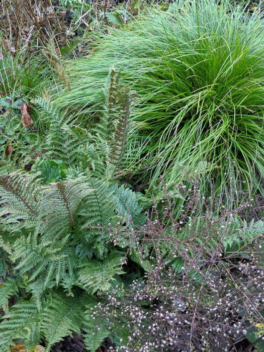 Dryopteris affinis fern