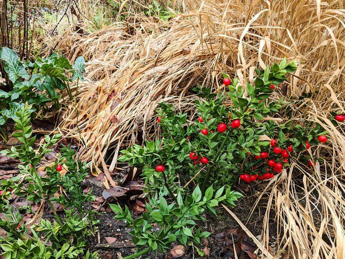 shrub Ruscus