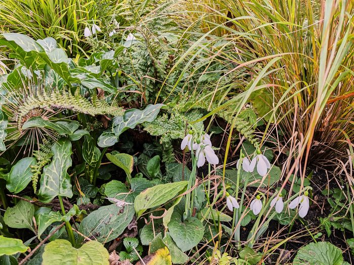 Snowdrops, Galanthus, and ferns