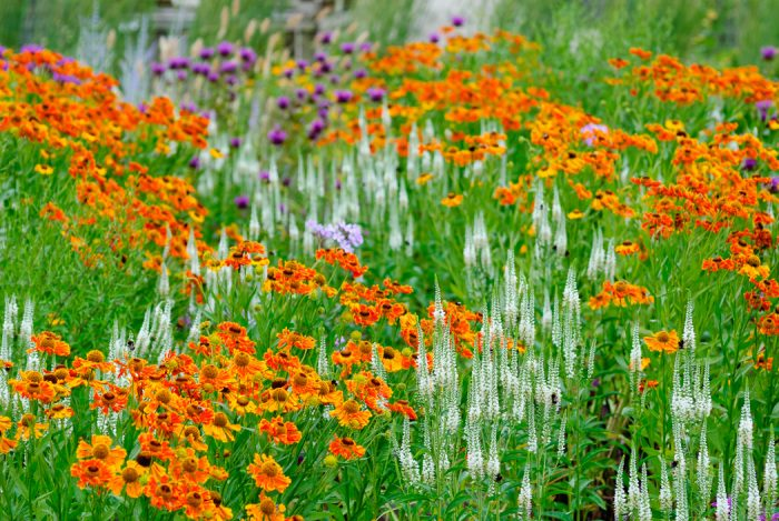 naturalistic perennial meadow