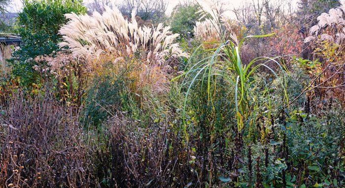 Miscanthus Ornamental Grass