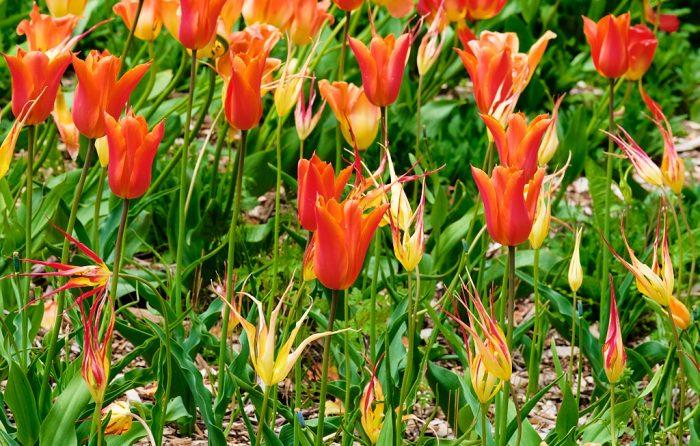 Tulipa acuminata, Tulip 'Ballerina'