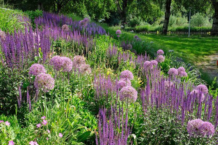 Allium 'Powder Puff' and 'Violet Queen'