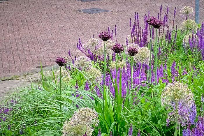 Allium atropurpurem