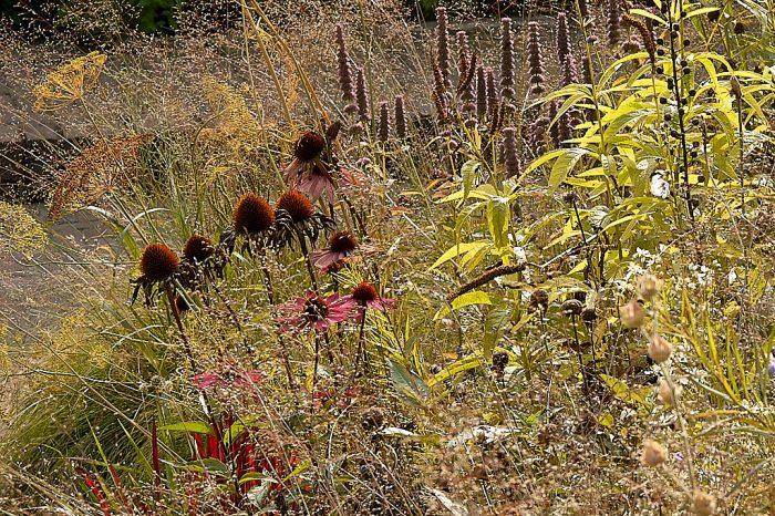 Echinacea purpurea seed heads